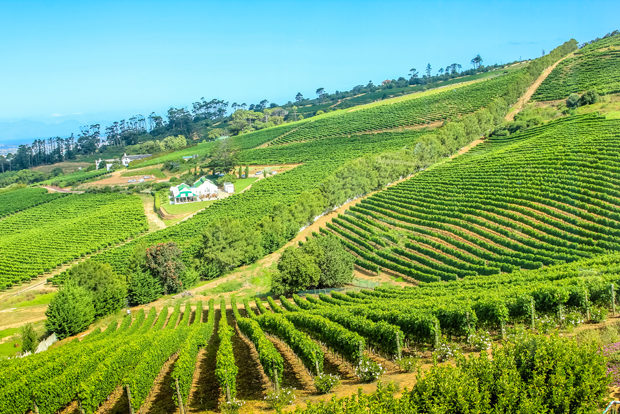 Vineyard landscape in Constantia