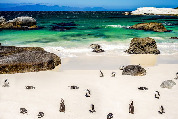 African Penguin in Boulders Beach