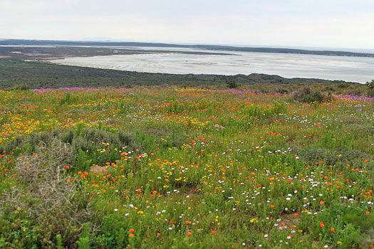 The South African Flower Route: West Coast National Park. Photo by Malcolm Manners