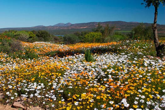 The South African Flower Route: Ramskop Wildflower Garden, Clanwilliam. Photo by Malcolm Manners