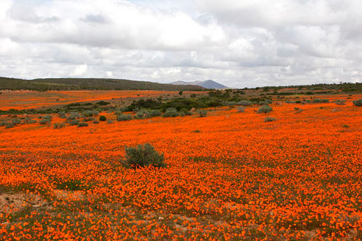 The South African Flower Route: Daisies. Skilpad Wildflower Preserve, Namaqua National Park. Photo by Malcolm Manners