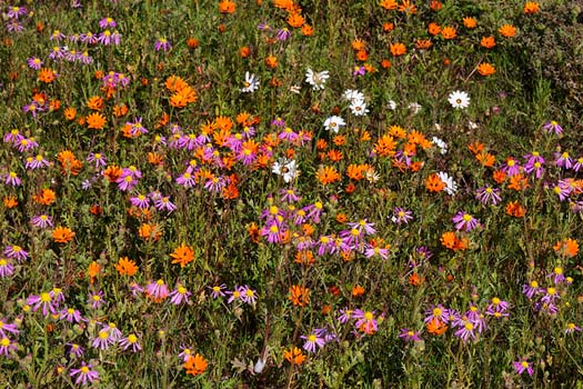 The South African Flower Route: Wildflowers on the road to Kobee, east of Vanrhynsdorp. Photo by Malcolm Manners