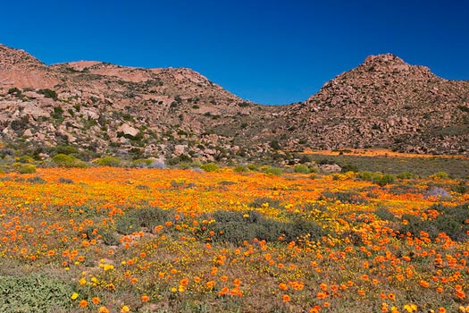 The South African Flower Route: Daisies at Goegap. Photo by Malcolm Manners