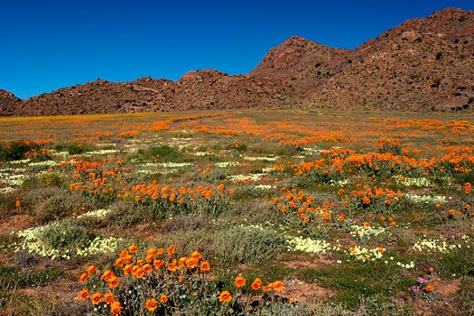 The South African Flower Route: Wildflowers near the entrance to Goegap Nature Preserve, Springbok. Photo by Malcolm Manners