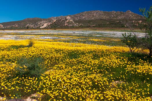 The South African Flower Route: Daisies. North of Citrusdal. Photo by Malcolm Manners