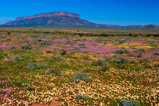 The South African Flower Route: Flowering field east of Vanrhynsdorp. Photo by Malcolm Manners