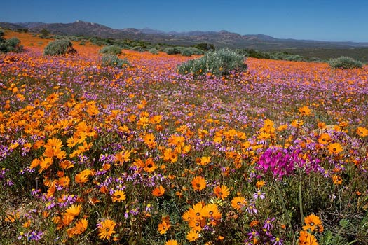 The South African Flower Route: Skilpad Wildflower Reserve, Namaqua National Park. Photo by Malcolm Manners