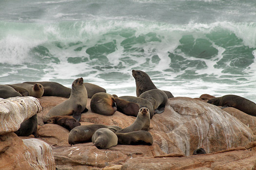 The South African Flower Route: Seals in Namaqua National Park. Photo by flowcomm