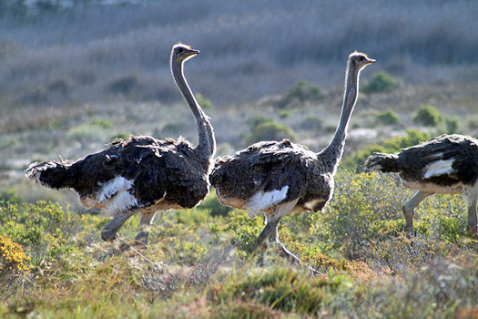 The South African Flower Route: Ostriches in Namaqua National Park. Photo by flowcomm
