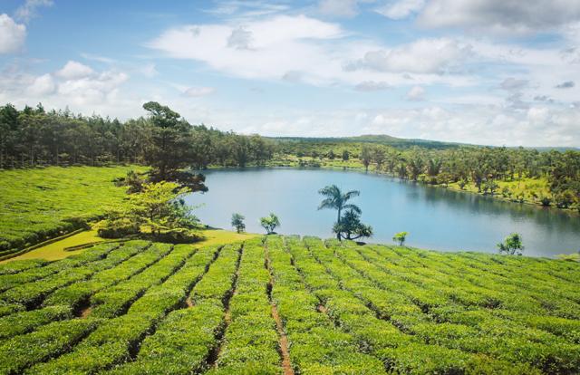 Tea plantations in Mauritius