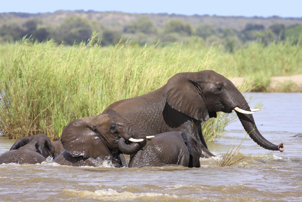 Herd of elephants playing in a river